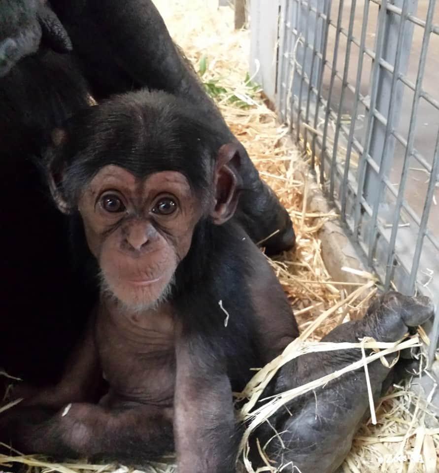 ChimpanzeeEnzi12Weeks