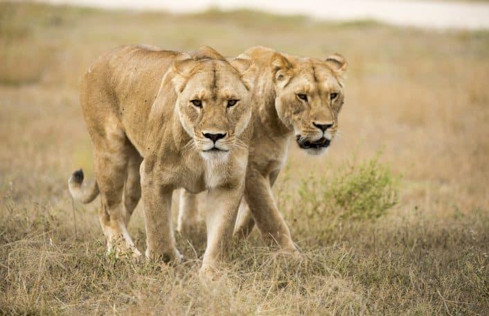 Monarto Safari Park lionesses Lions 360