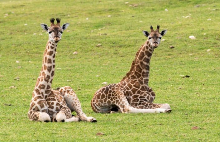 Giraffe calves at Monarto Safari Park