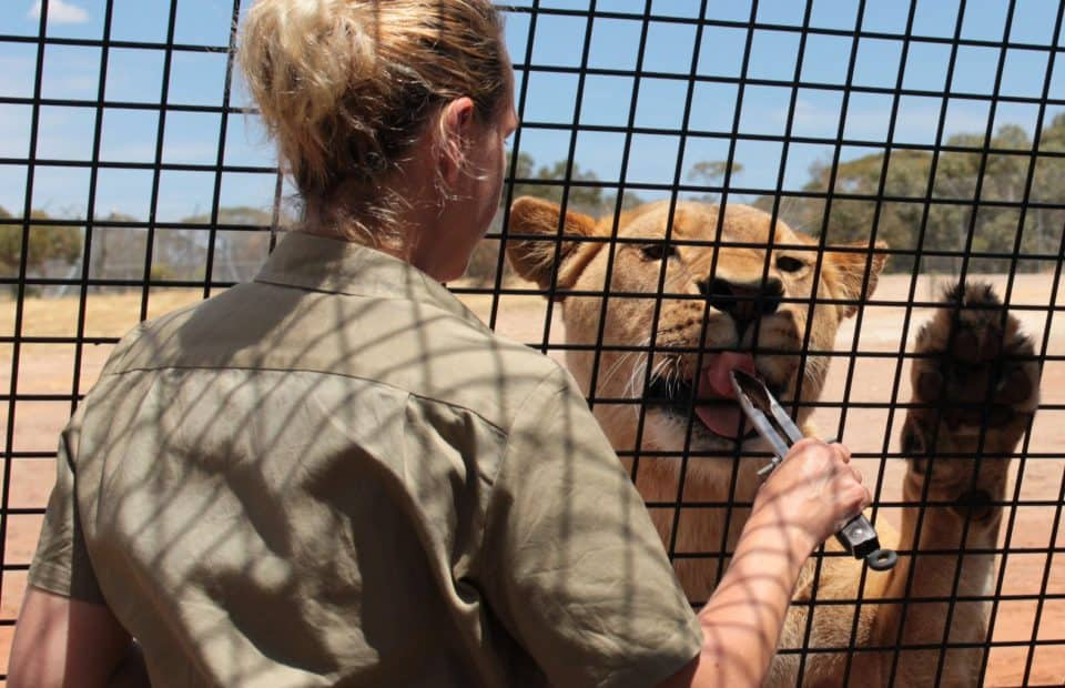 Keeper feeding a lion at Lions 360