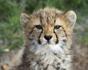 Cheetah cub Monarto Zoo
