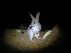 Greater bilby at night