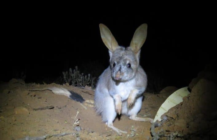 Greater Bilby enters burrow at night.