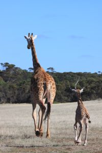 Giraffe calf with mum, Korongo