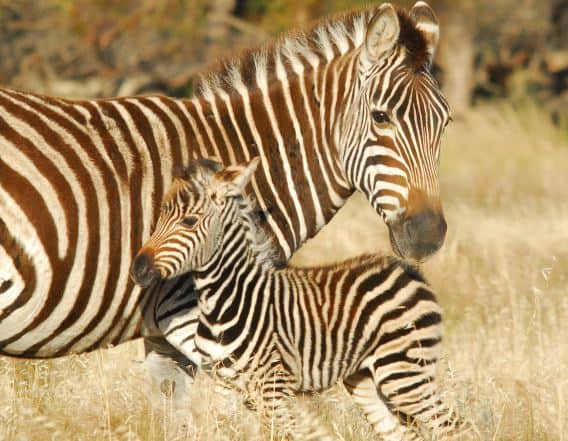 Zebra foal with mum