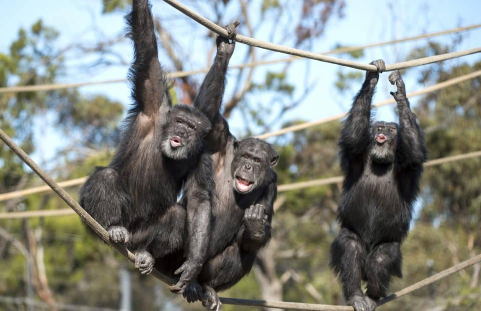 Monarto Safari Park new chimps