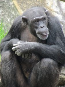 Monarto Zoo new chimps Lani