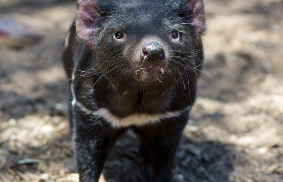 Tasmanian Devil Monarto Safari Park