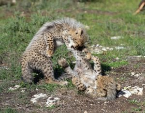 Cheetah cubs Monarto Zoo play