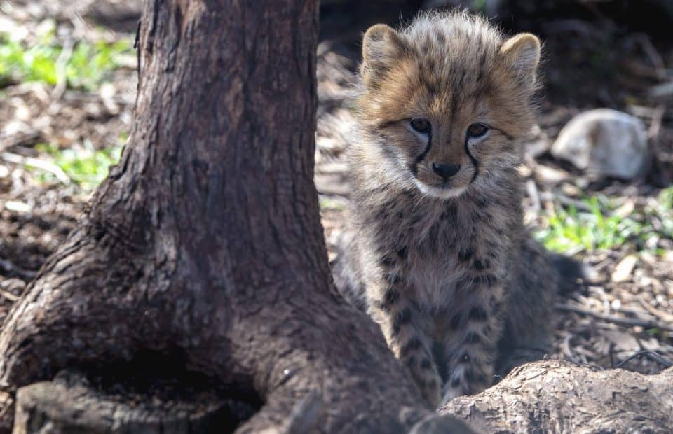 Cheetah cubs Monarto Safari Park