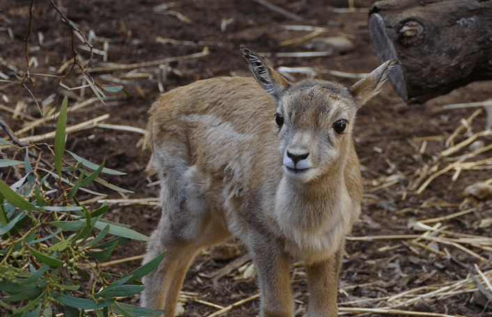 Stan Blackbuck baby Monarto Safari Park