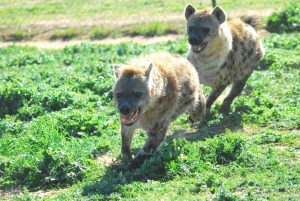 Monarto Zoo hyaenas introduction