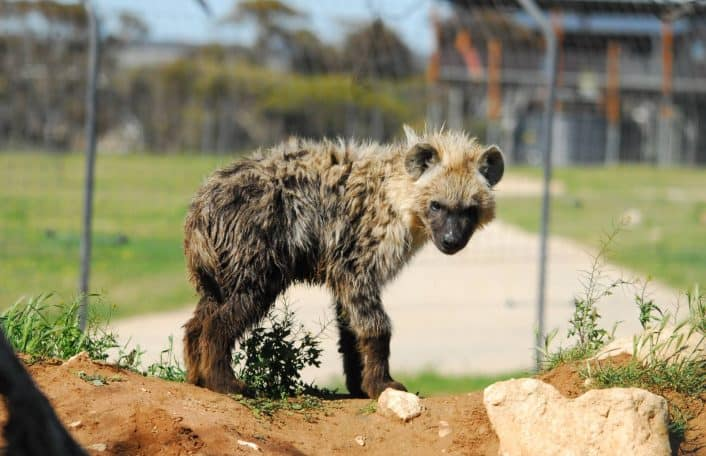 Monarto Safari Park hyaenas introduction cub