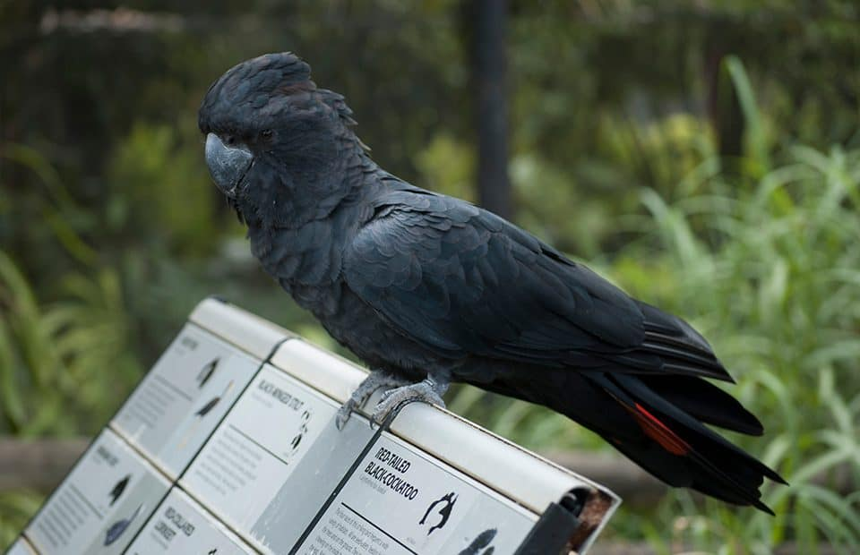 Black-cockatoo Adelaide Zoo