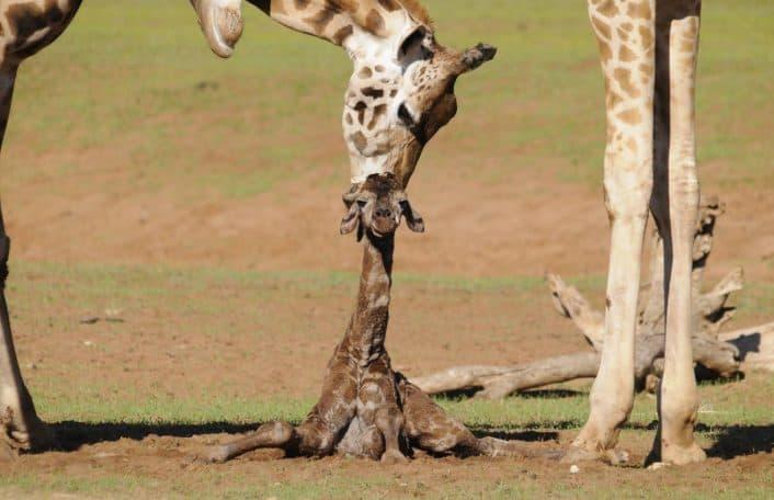 Monarto Safari Park giraffe calf
