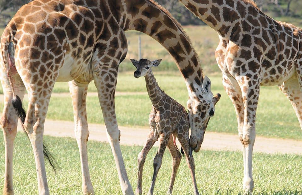 giraffe calf Monarto Zoo