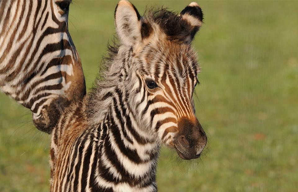 Zebra foal Monarto Zoo
