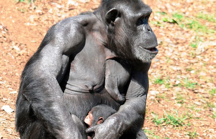 Chimp baby Monarto Zoo