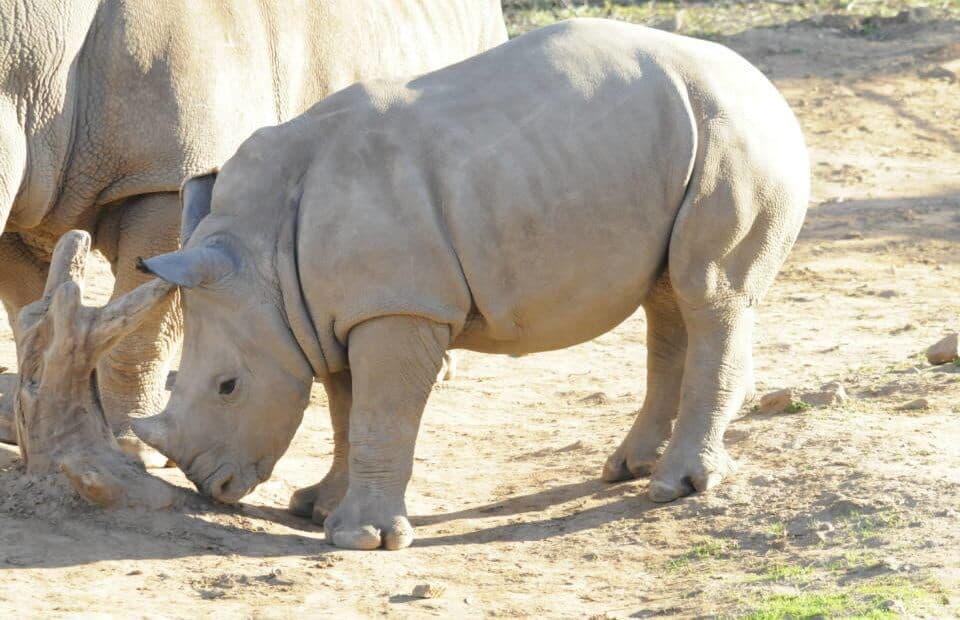 Imani the Rhino