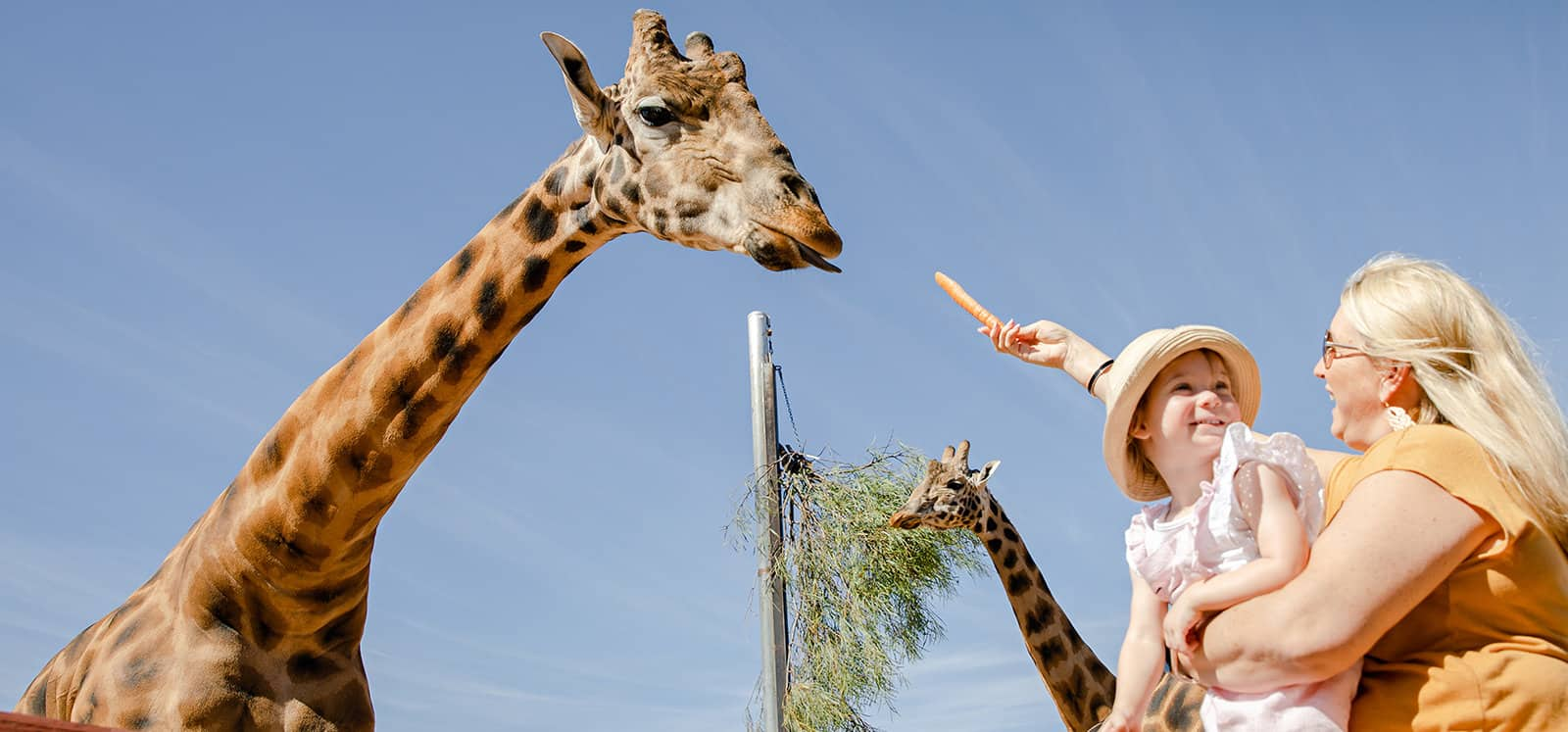 Giraffe being hand fed a carrot during Giraffe Safari