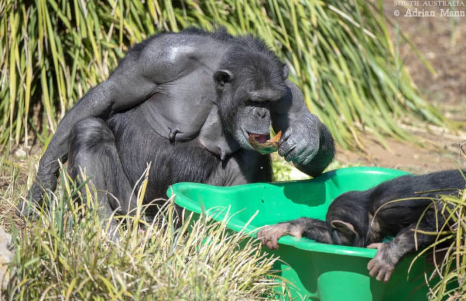 Chimp cooling off at Monarto Safari Park