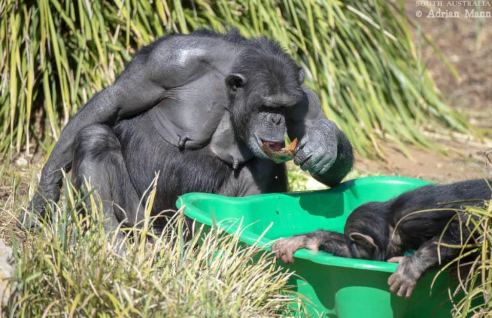 Chimp cooling off at Monarto Safari Park