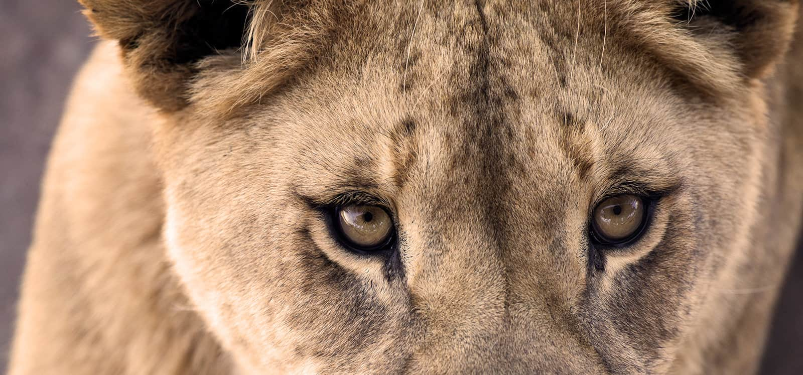 Close-up of Female African Lion's eyes