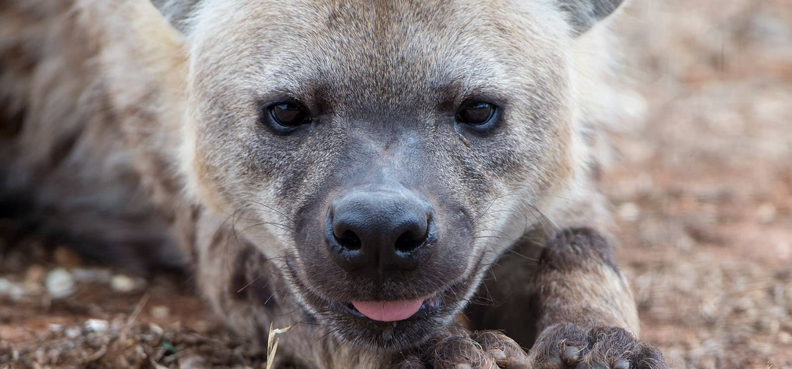 Close-up of Spotted Hyena poking out tongue
