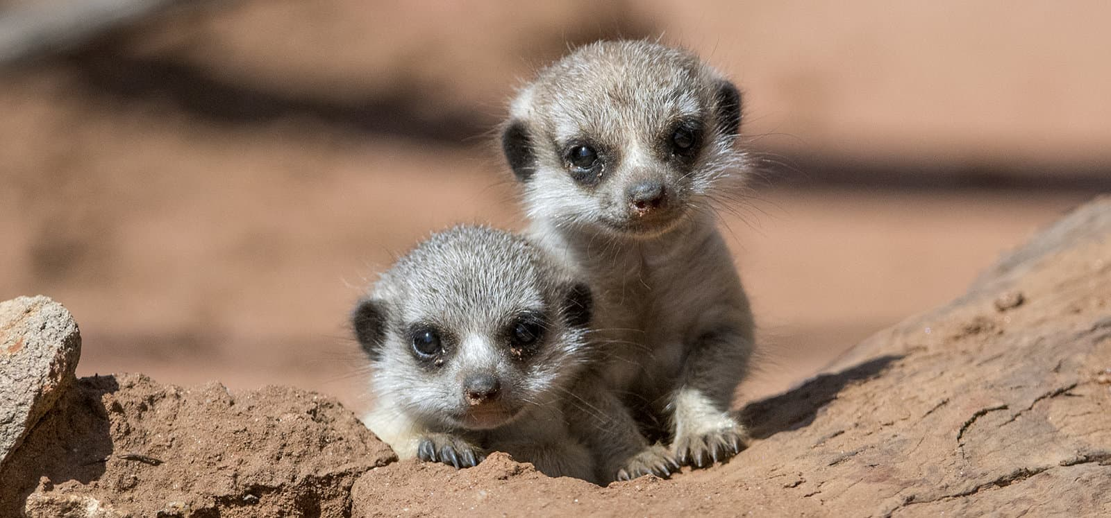 Image result for Meerkats photos