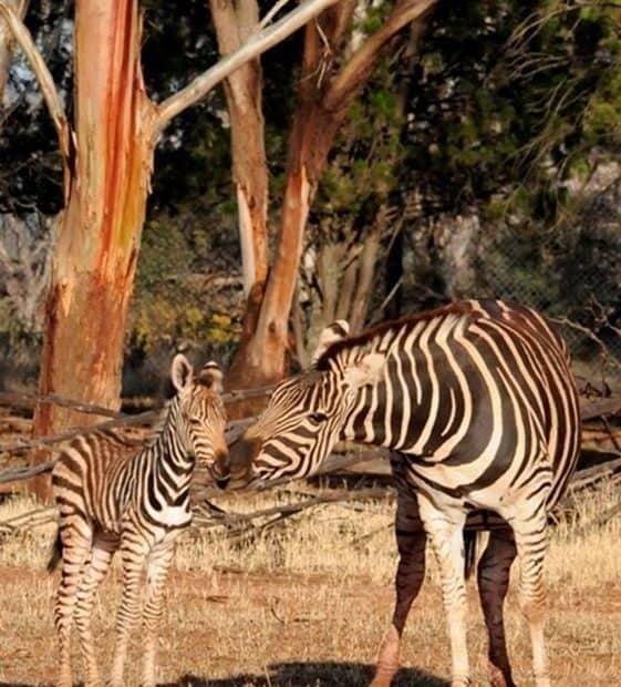 Zebra Foal Monarto Safari Park