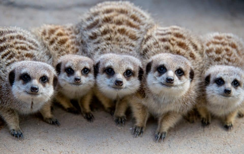 Meerkats by Adrian Mann