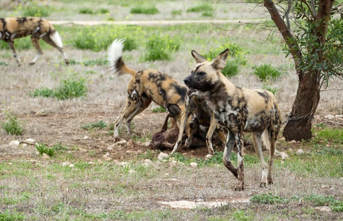 African Painted Dog Monarto Safari Park