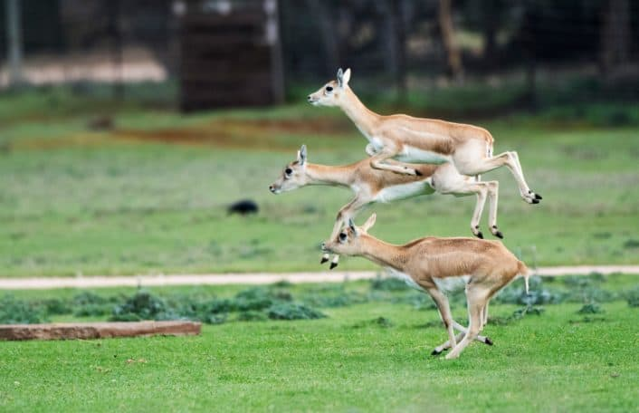 Black Buck, Leap Year, 29 February