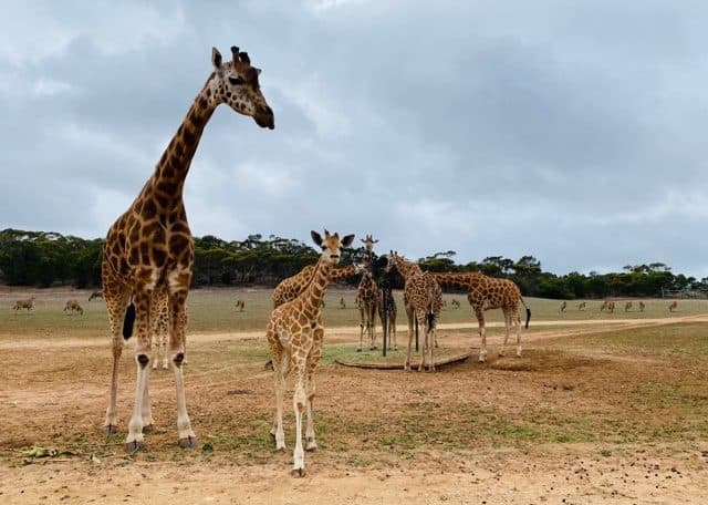 Nolean, Waterhole, Giraffe conservation, Monarto Safari Park