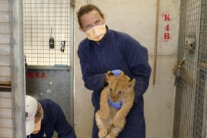 Monarto Safari Park lion cub health check