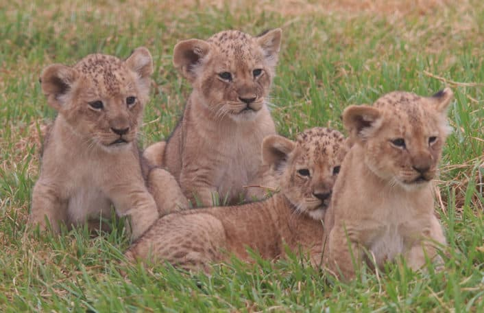 Monarto Safari Park african lion cub health check
