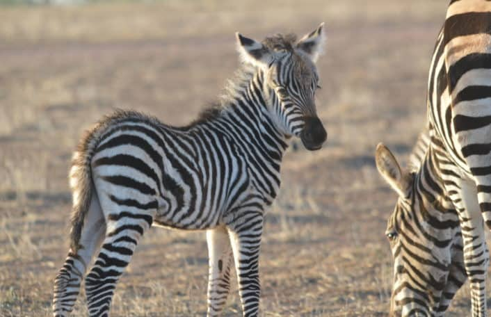 zebra foal, monarto safari park, april 2020