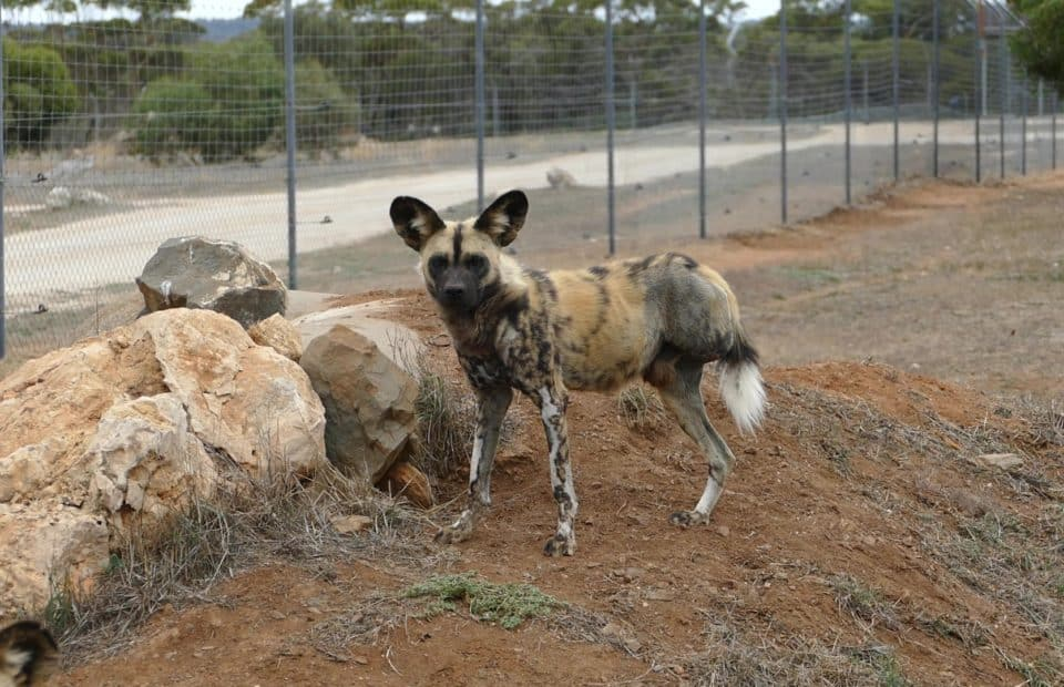 African Painted Dog, Onika, Monarto Safari Park