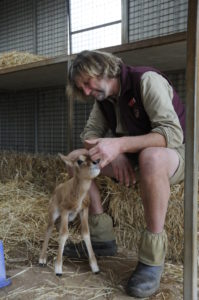 Monarto Safari Park Keeper Vaughan with Scimitar-horned Oryx calf