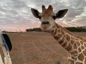 Monarto Safari Park hand raised giraffe Nolean