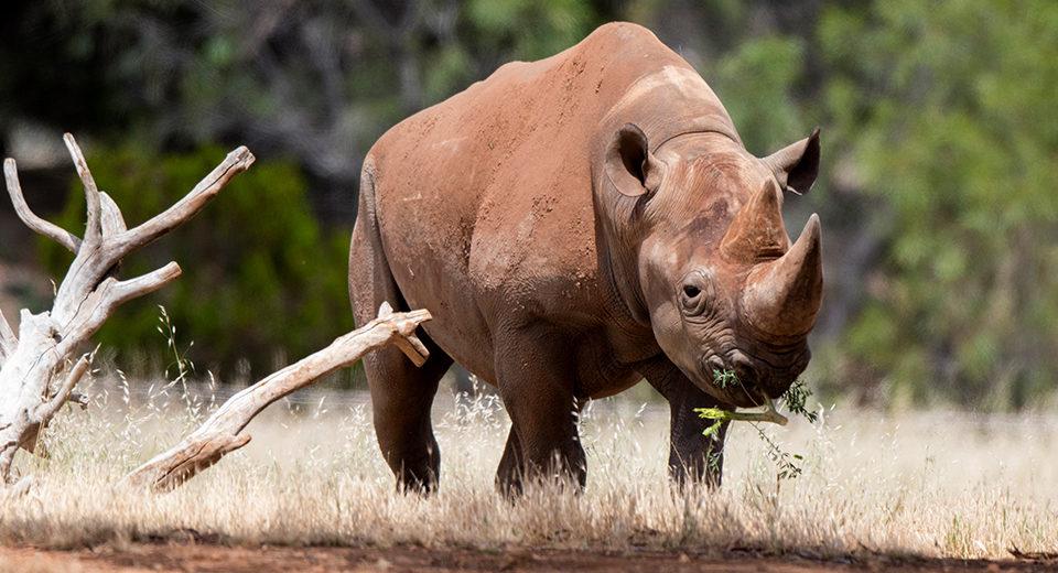 Black Rhino Monarto Safari Park
