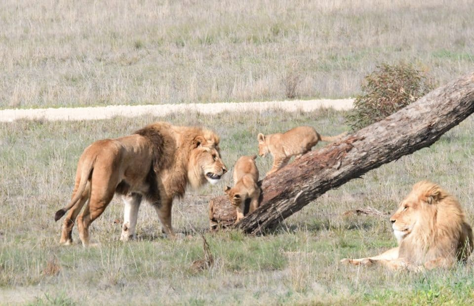Geoff Brooks, lion cubs, Monarto Safari Park
