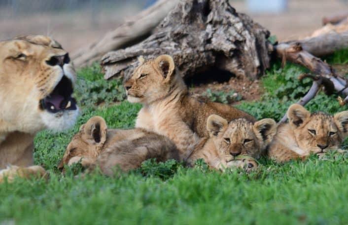 lion cubs, naming competition, monarto safari park, Husani