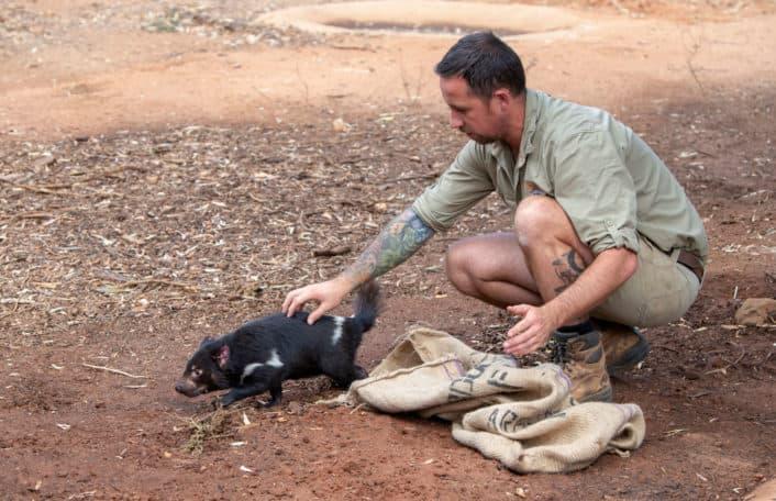 Tasmanian Devil breeding record success Monarto Safari Park