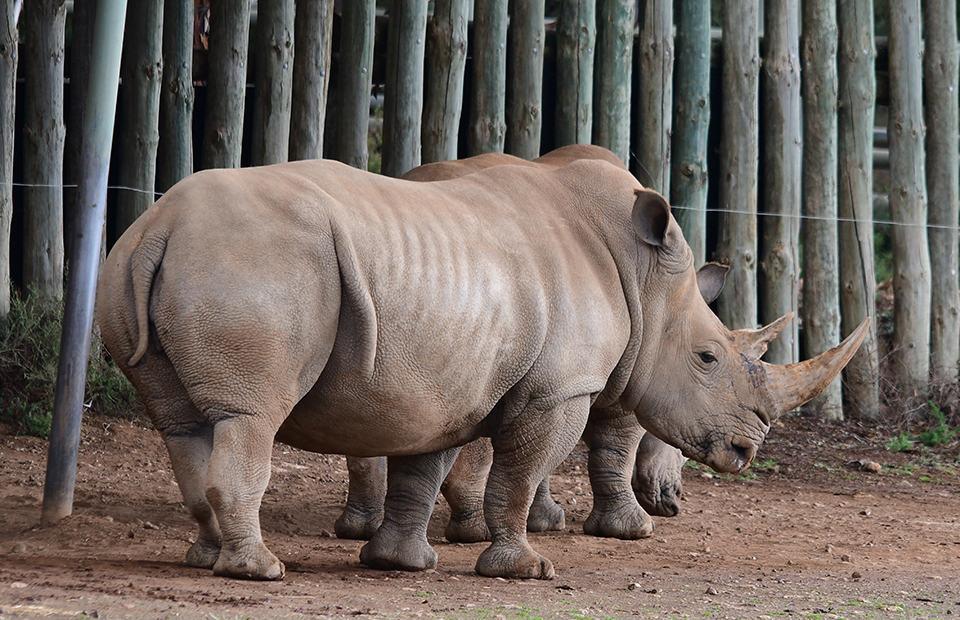 Southern White Rhino Monarto Safari Park Umqali pregnant