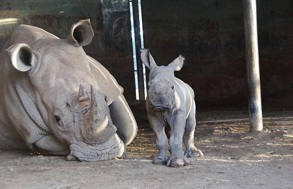 Southern White Rhino calf Monarto Safari Park birth