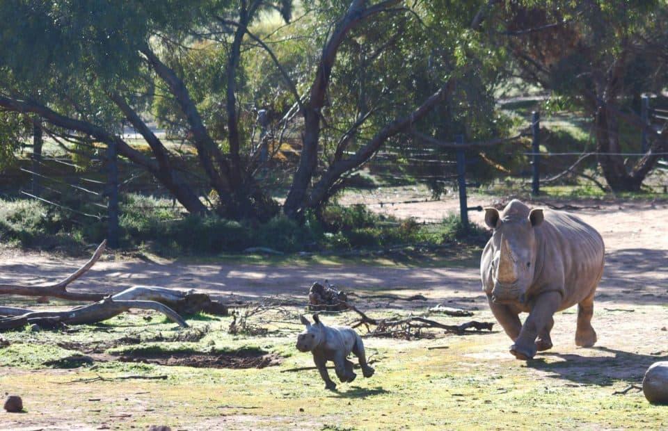 rhino calf, monarto safari park,