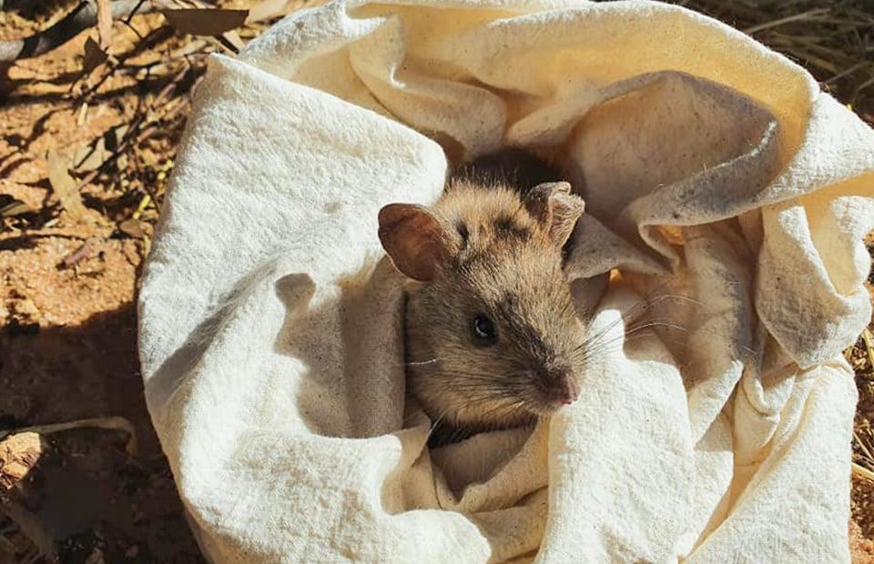 Monarto Safari Park Greater Stick-nest Rat conservation