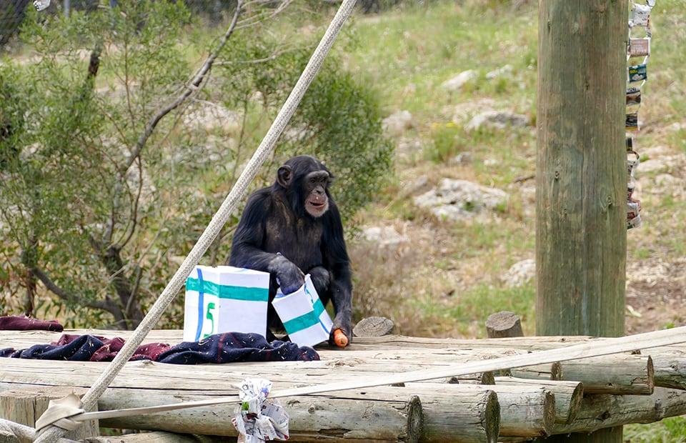 Enzi chimpanzee birthday Monarto Safari Park