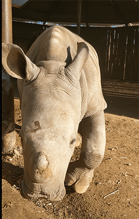 Eshe, rhino horn poking through